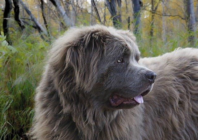 Torzia žalúdka môže vášho psa zabiť